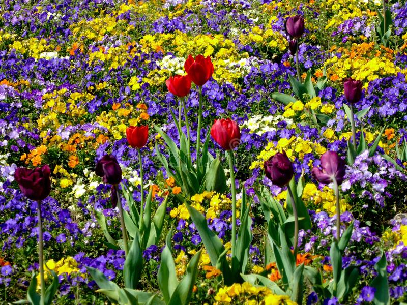 A field of pansies royalty free stock images