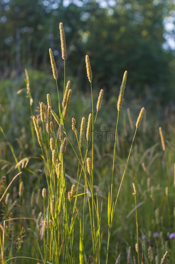 Field perennial grass in the rays of the setting sun stock photo