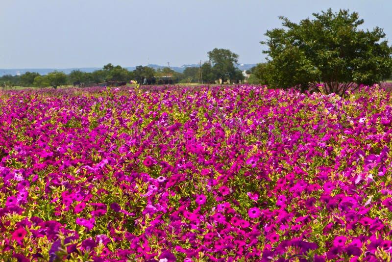 Field of petunias royalty free stock photos