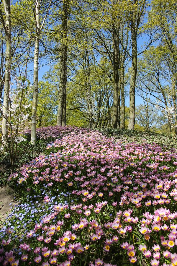 Field of pink beautiful flowers close up in young green forest. Spring time in Keukenhof flower garden, Netherlands royalty free stock photo