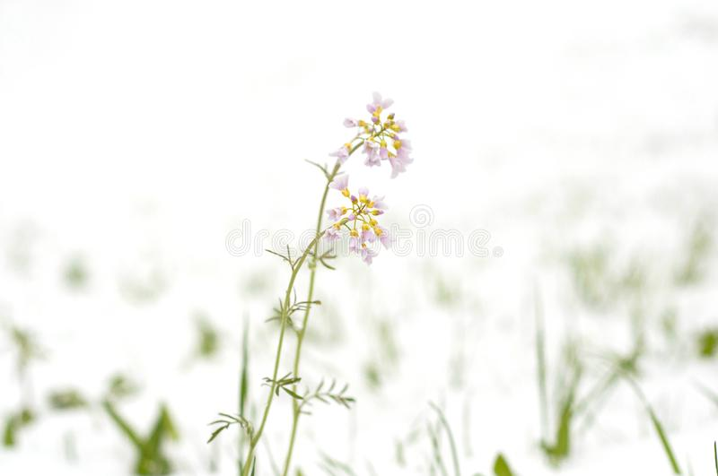 Field pink flowers covered with snow. Snow cyclone in April month royalty free stock images