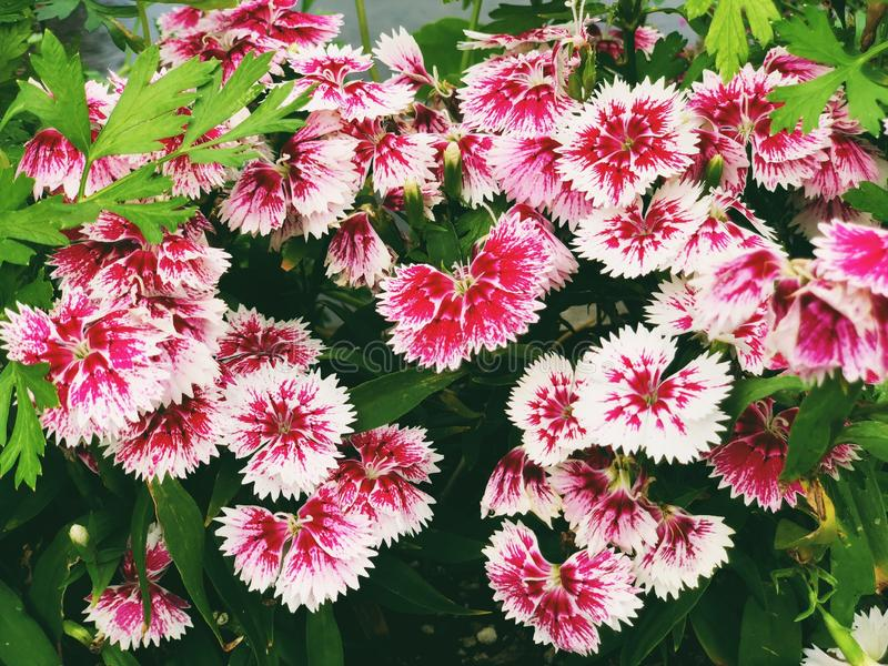 A field of pink red Dianthus flowers blooming. On Old Drake Hill Flower Bridge in Simsbury, Connecticut ,United States stock photo
