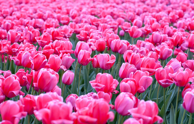 Download Field of pink tulips stock photo. Image of beautiful - 13950530