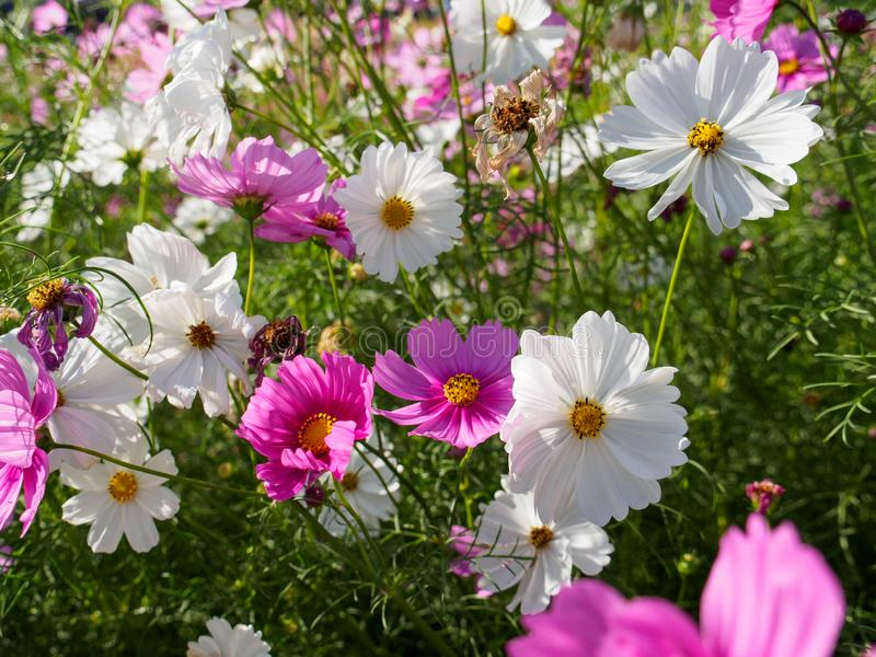 A field of pink and white cosmos flowers stock image image of download a field of pink and white cosmos flowers stock image image of background mightylinksfo