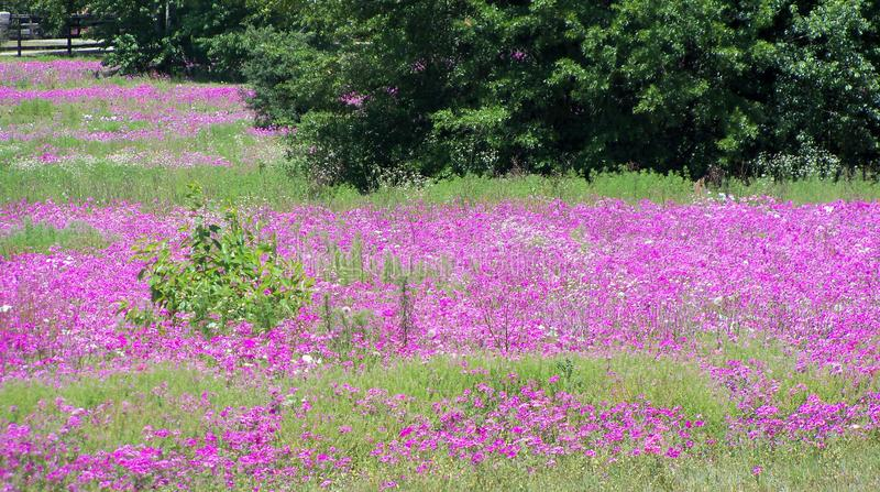 A field of pink and white wild Phlox flowers. Sunny pink and white roadside field of wild Phlox flowers in central Florida on a Spring afternoon stock photos