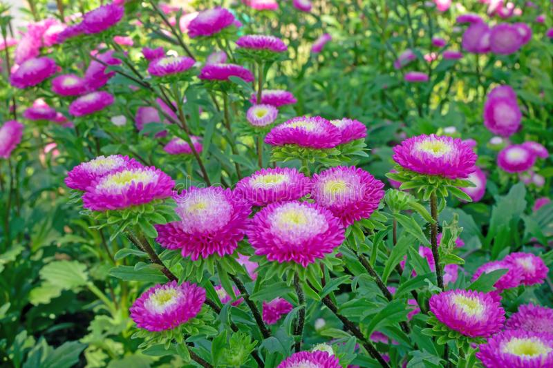 Field of pink and yellow petals of Everlasting or Straw flower blossom on green leaves, this plant know as Helichrysum bracteatum stock photos