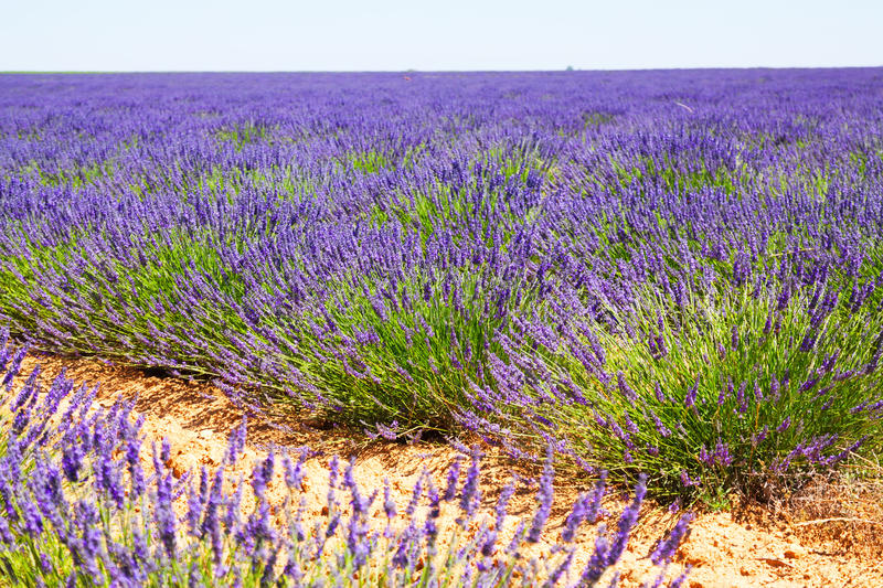 Field with plant of blue lavender stock photos