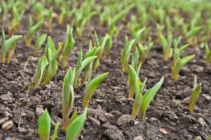 Field with planting stock photo
