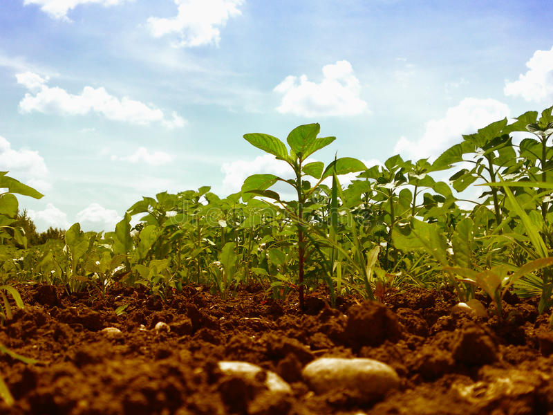 Download Field, plants and sky stock photo. Image of agriculture - 10063494