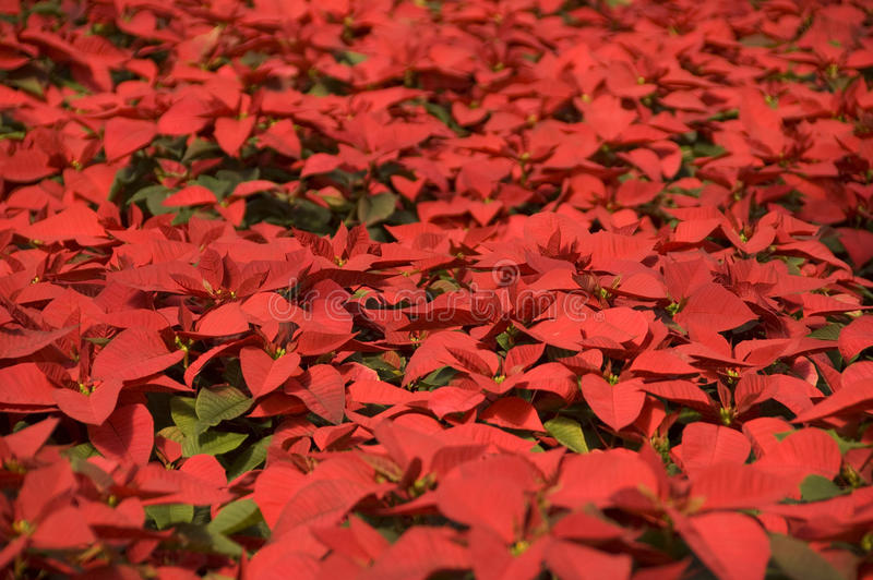 Field of poinsettias stock images