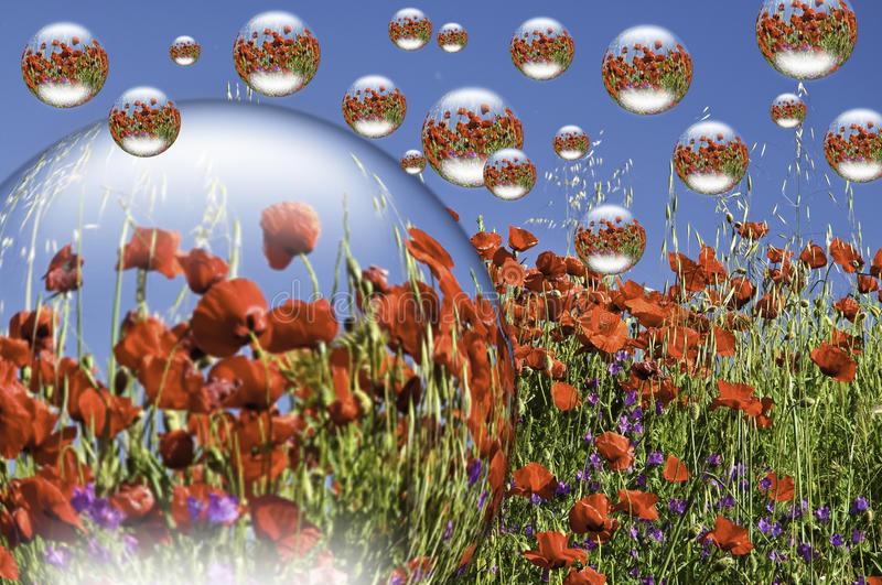 A field of poppies. This image shows a field of poppies, with drops of water, very spherical, reflecting the poppy field royalty free stock photo