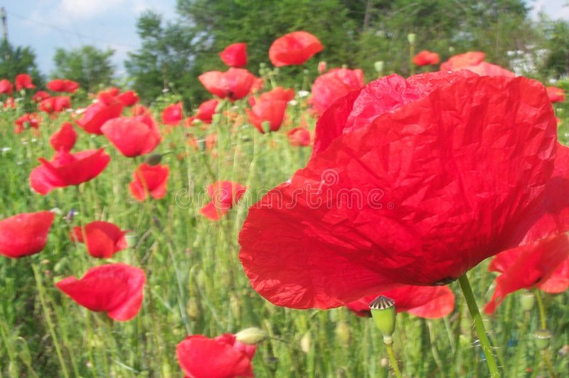 Field of poppies 2 royalty free stock photos