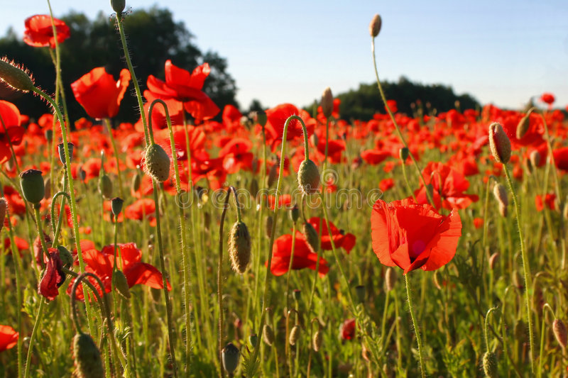 Download Field with poppies stock photo. Image of front, descriptive - 2038942