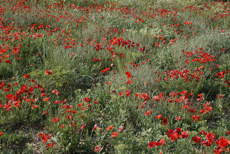 Download Field of Poppies stock image. Image of spring, color, nature - 24455
