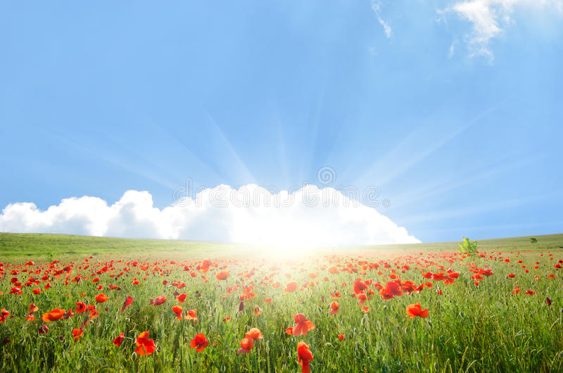 Download Field with poppies stock image. Image of evening, agriculture - 24992813