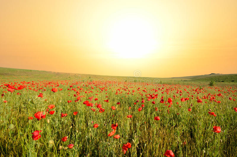 Download Field with poppies stock photo. Image of beauty, sunset - 24992816