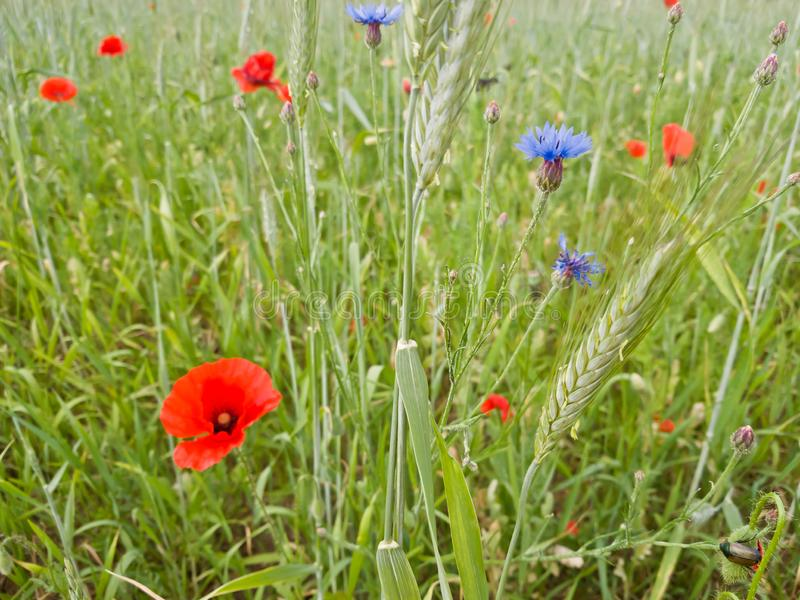 Field with poppies, cornflowers, spikelets and various spring grass royalty free stock photography