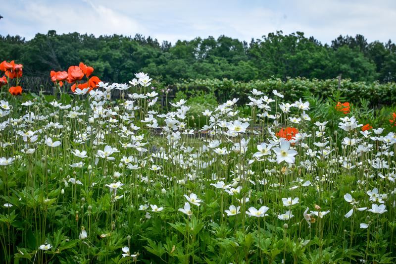 Field of Poppies and Daisies stock photos