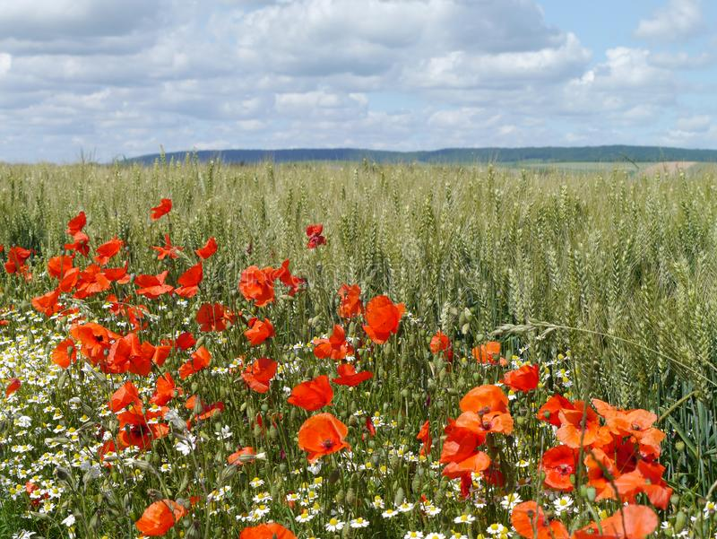 Field of poppies and wheat in the Champagne region of France stock images