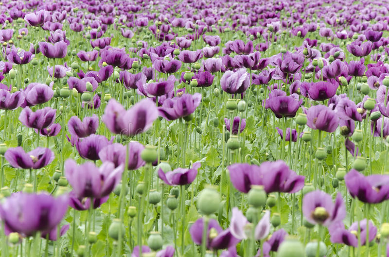 Download Field Of Poppies Royalty Free Stock Photography - Image: 31369197