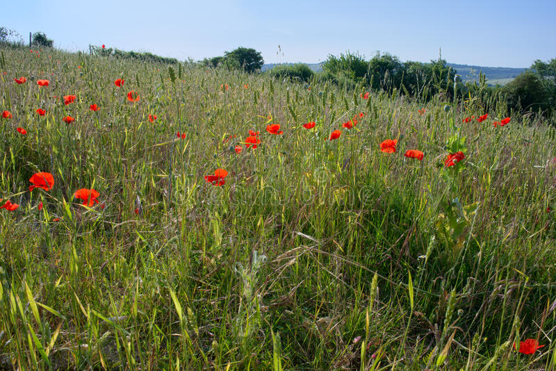 A Field of Poppies stock image