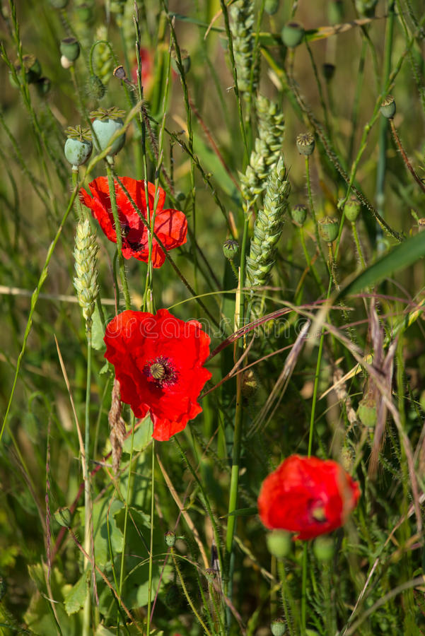 A Field of Poppies stock images