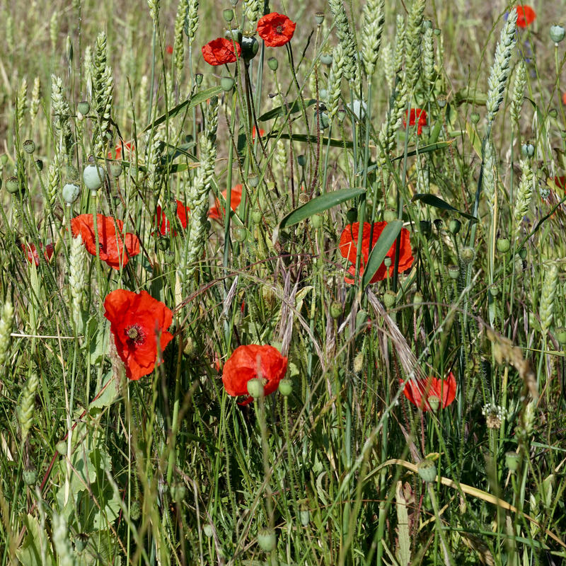 A Field of Poppies stock photo