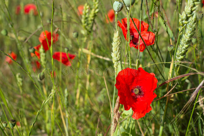 A Field of Poppies royalty free stock photography