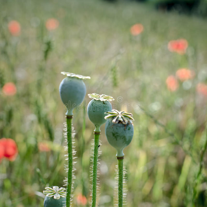 A Field of Poppies royalty free stock photo
