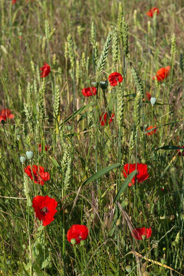 A Field of Poppies royalty free stock photos
