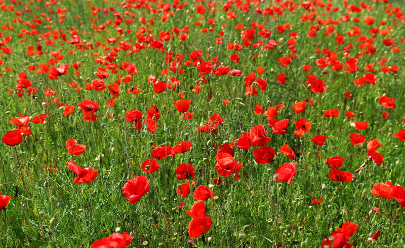 Field of poppies in late spring time. Field of wild red poppies in late spring time stock photos