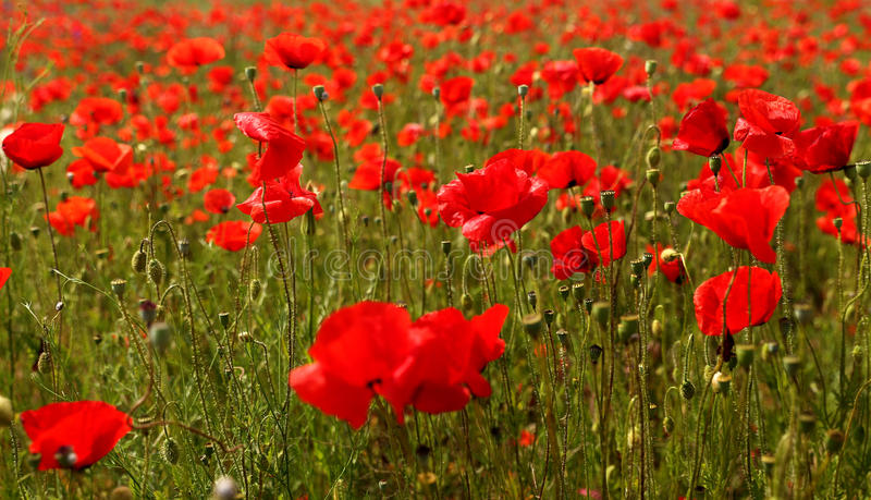 Field of poppies in late spring time. Field of wild red poppies in late spring time royalty free stock photo