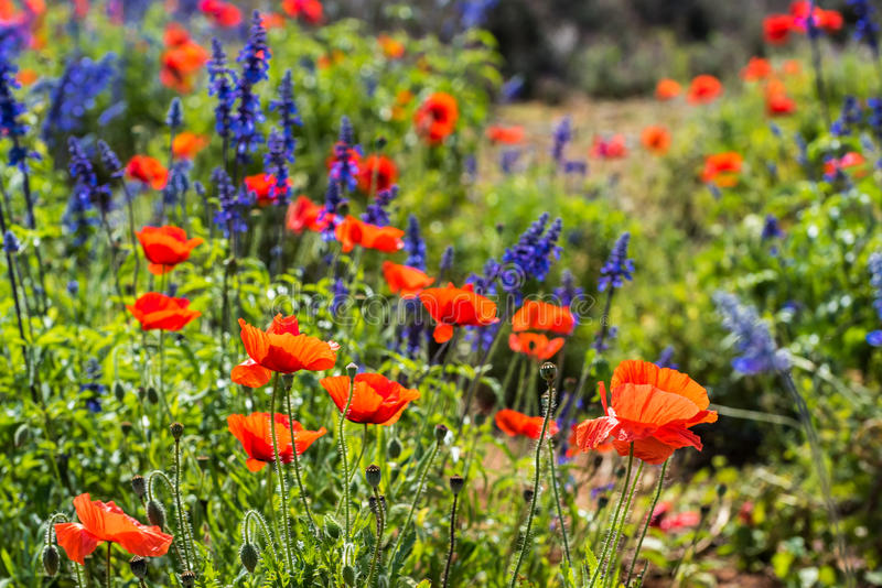 Field of Poppies and Lavender. With a shallow depth of field into the distant field. Diffuse blurry background stock image
