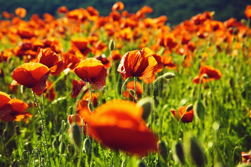 Field of poppies. poppy seed or red flower in field royalty free stock image