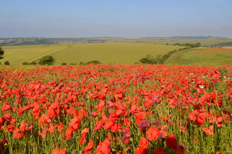 Field of poppies royalty free stock images
