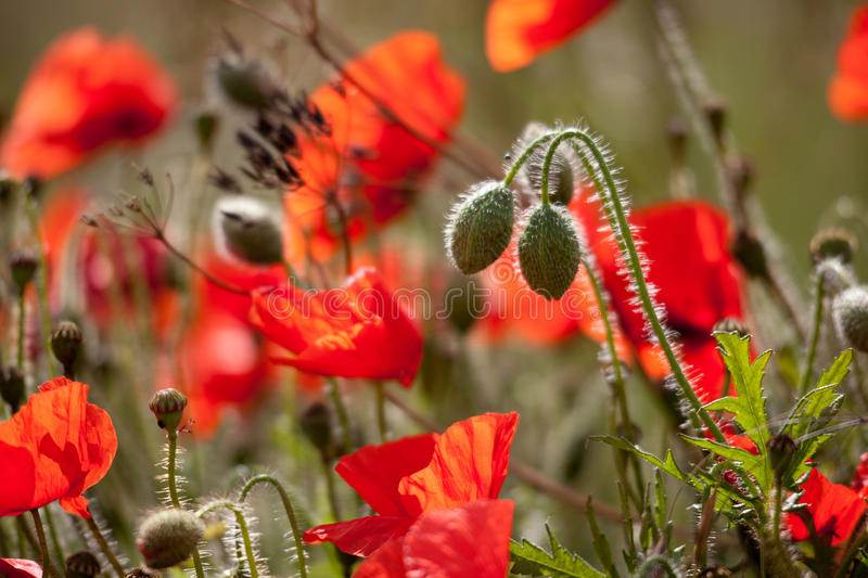 Field of Poppies in Sussex stock images