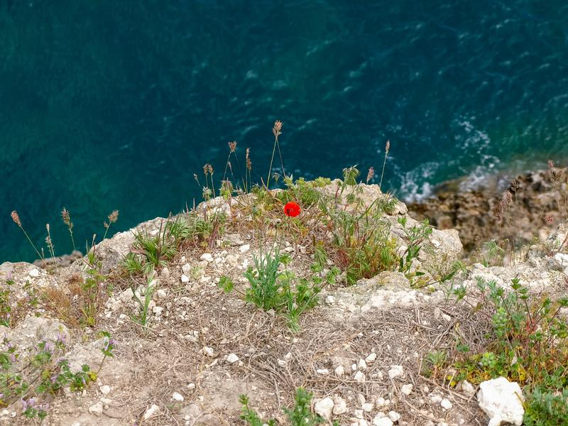 Poppy flower and other sparse vegetation over sea surface. Field poppy with flower, other sparse vegetation on the edge of a cliff of sea coast on a blurred royalty free stock photo