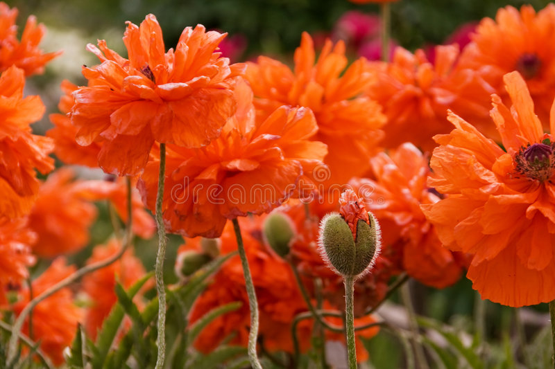 Field of poppy flowers stock images