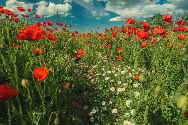Field of poppy flowers and daisies stock images