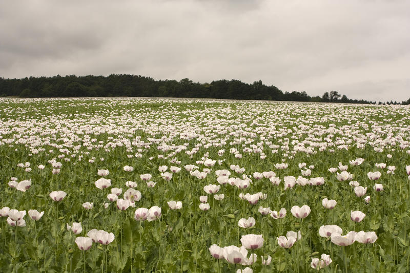 Download Field Of Poppy Plants Royalty Free Stock Photos - Image: 9954818