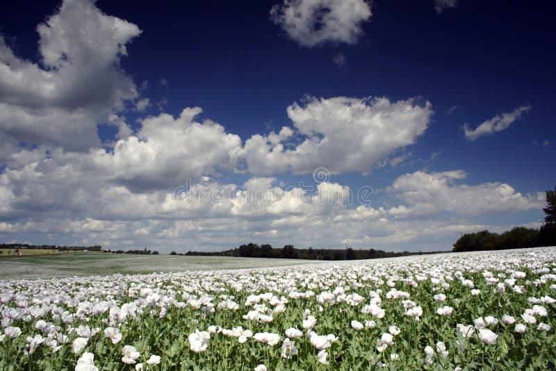 Field of poppy seed royalty free stock photo