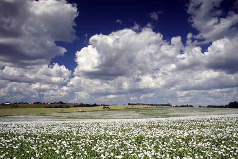 Field of poppy seed stock image