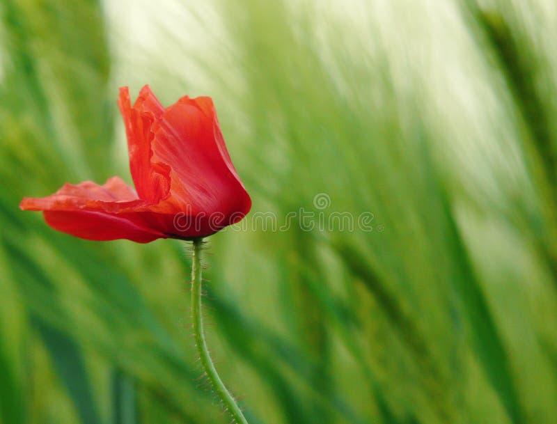 Field poppy in wind royalty free stock image