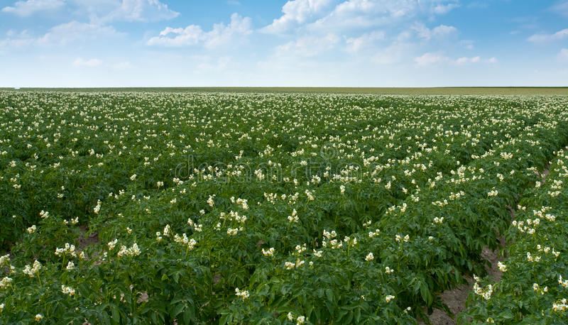 field of potato plant royalty free stock images