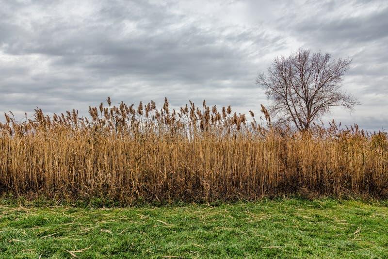 A field of Prairie Cordgrass Spartina pectinata. A field of Prairie Cordgrass Spartina pectinate under a cloudy sky royalty free stock photos