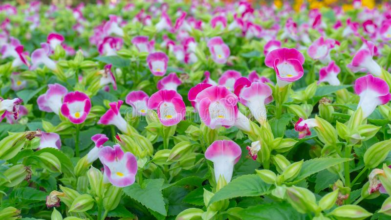 A field of prettty pink petals of Wishbone flower blooming on green leaves, known as Bluewings or Torenia, flowering plant. In Scrophulariaceae stock image