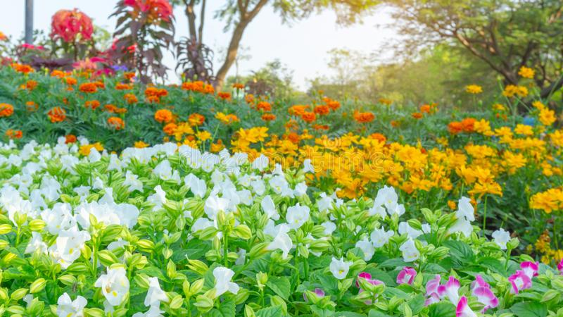 A field of prettty white petals of Wishbone flower blooming on green leaves, yellow Cosmos and orange Marigold in background. Under green tree, known as stock photo