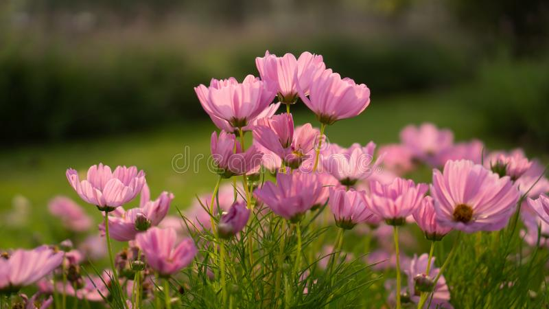 Field of pretty pink petals of Cosmos flowers blooming on green leaves, small bud in a park , blurred lawn on background royalty free stock image