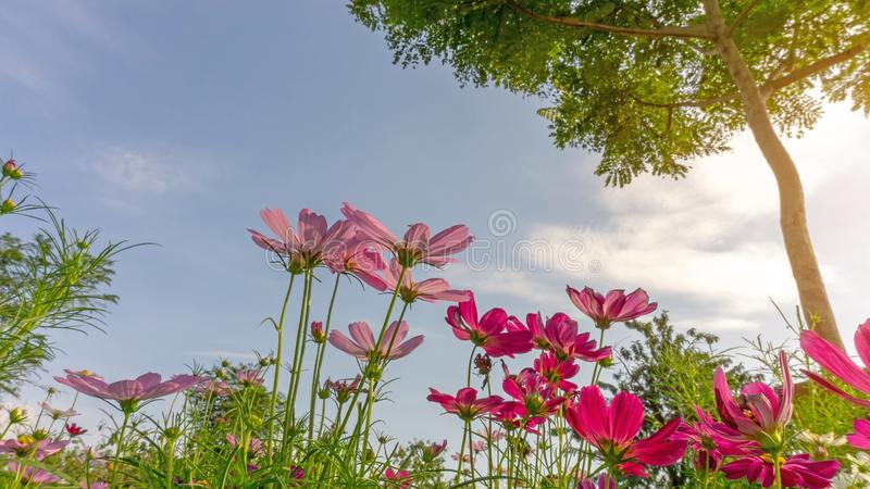 Field of pretty pink and purple petals of Cosmos flowers blossom on green leaves and small bud under the tree and sunshine morning. On blue sky, white clouds stock photo