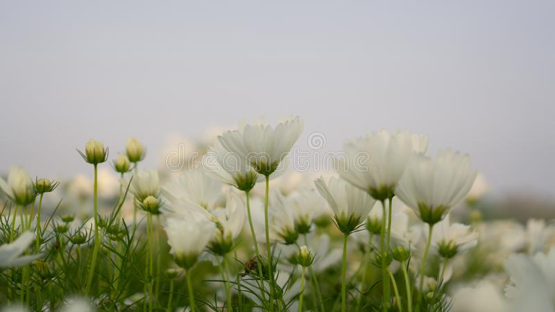 Field of pretty white petals of Cosmos flowers blooming on green leaves, under blue sky background. Field of pretty white petals of Cosmos flowers blooming on stock photos
